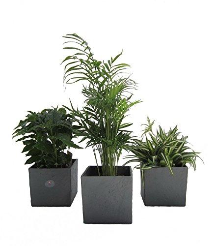 Dominik Blumen und Pflanzen, Zimmerpflanzen Luftrein Mix im Scheurich Würfelumtopf anthrazit-stone, 14 x 14 cm, 3 Pflanzen und3 Umtöpfe, grün